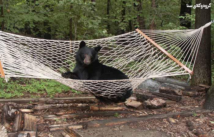 پرورش خرس قانون عجیب در آفریقا